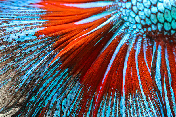 Texture of tail siamese fighting fish stock photo