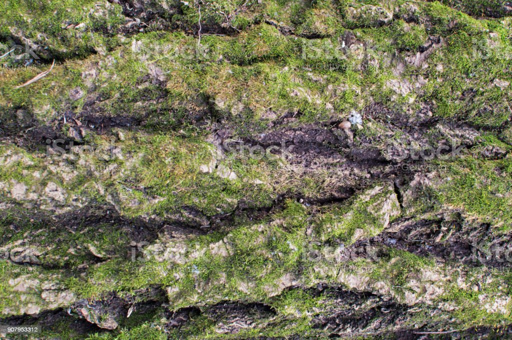 Texture of the tree barque cowered with green moss stock photo