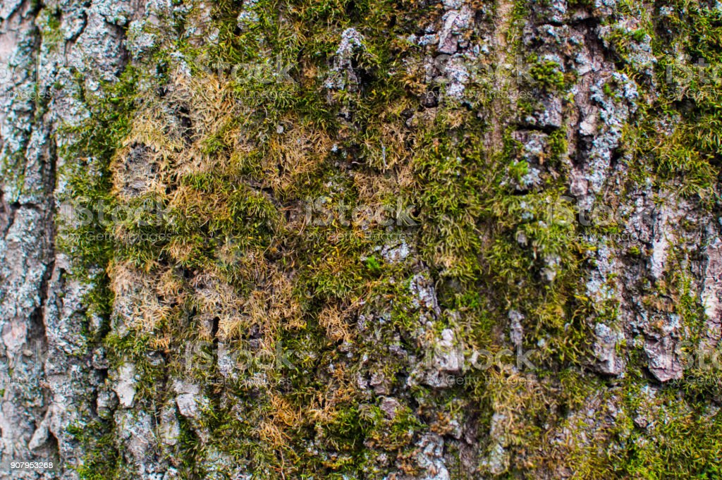 Texture of the trees bark cowered with green moss stock photo