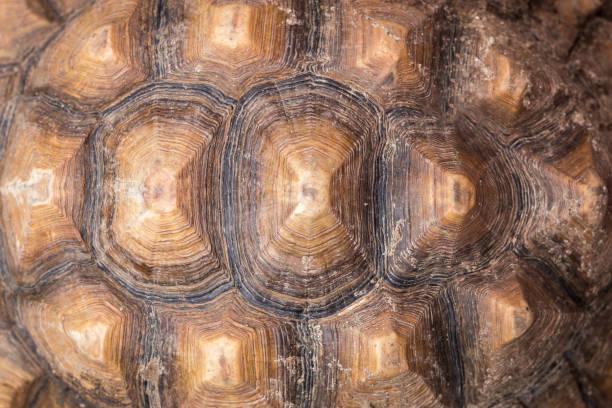 Schildkrötenpanzer verkaufen