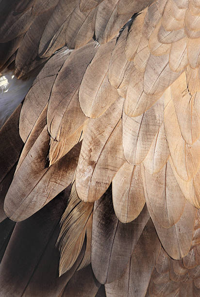 Texture of Vulture's Wing Vulture's Wing bristle animal part stock pictures, royalty-free photos & images