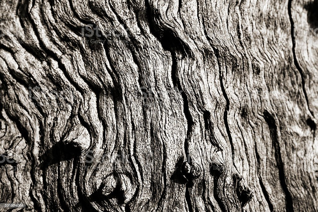 Texture Olive tree wood stock photo
