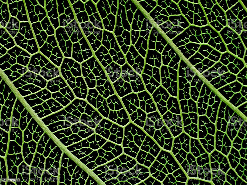 Texture or structure of a skeleton leaf. stock photo