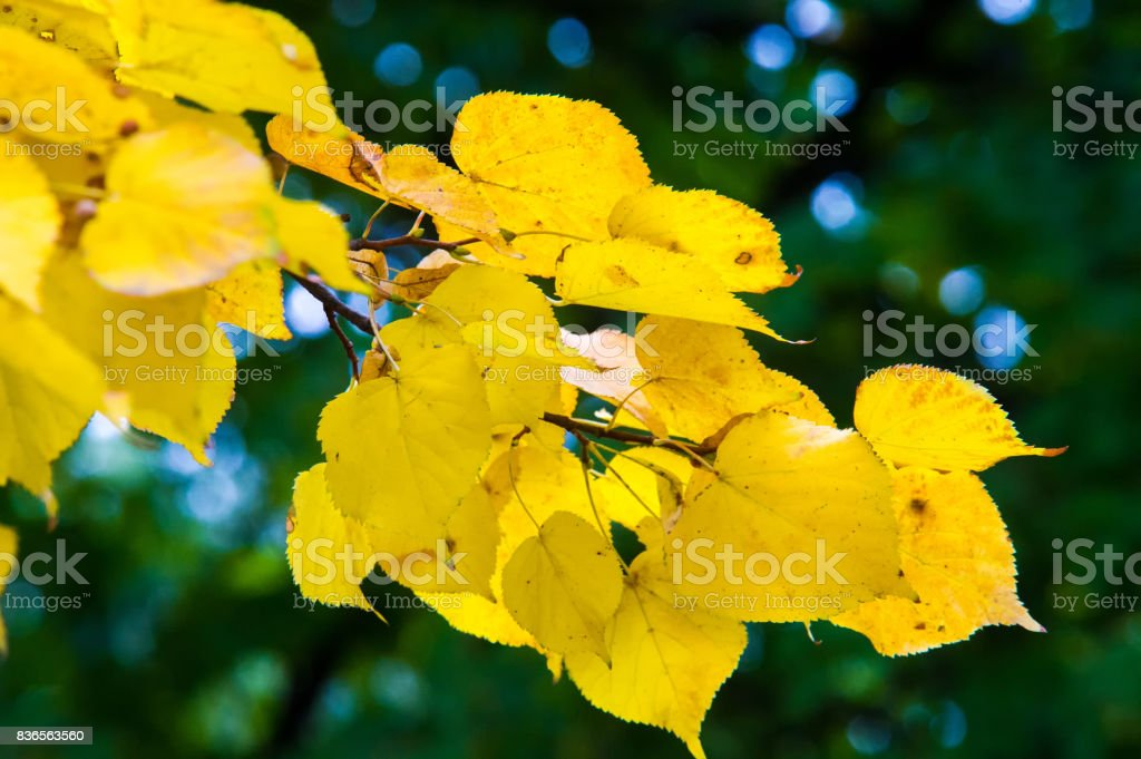Texture, pattern, background. Autumn leaves on a tree, bright yellow stock photo