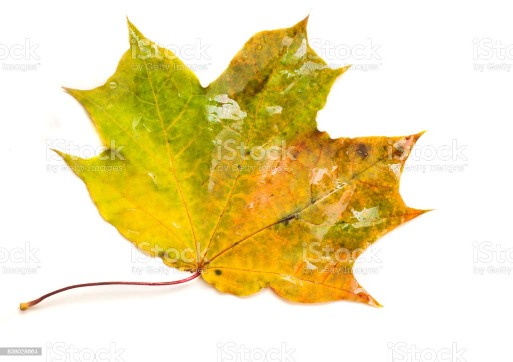 Texture, pattern, background. Autumn Leaves pores, wet yellow maple leaf stock photo