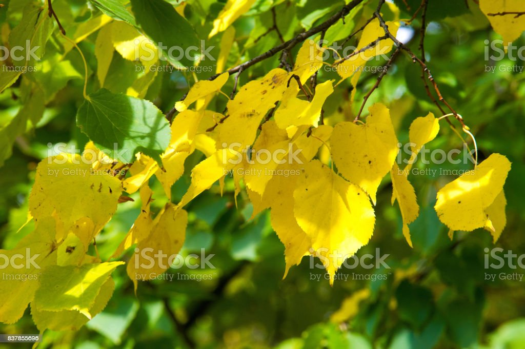 Texture, pattern, background. Autumn leaves, yellow, golden. A beautiful time of the year. the third season of the year, when crops and fruits are gathered and leaves fall, in the northern hemisphere from September to November stock photo