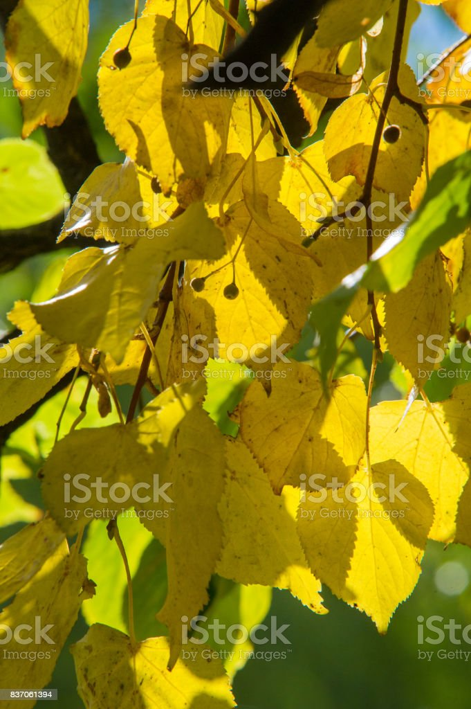 Texture, pattern, background. Leaves fall. Leaves and twigs with leaves of linden. a deciduous tree with heart-shaped leaves and fragrant yellowish blossoms, native to north temperate regions. stock photo