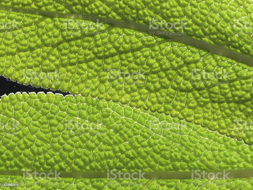 Texture / Pattern - detail of sage royalty-free stock photo