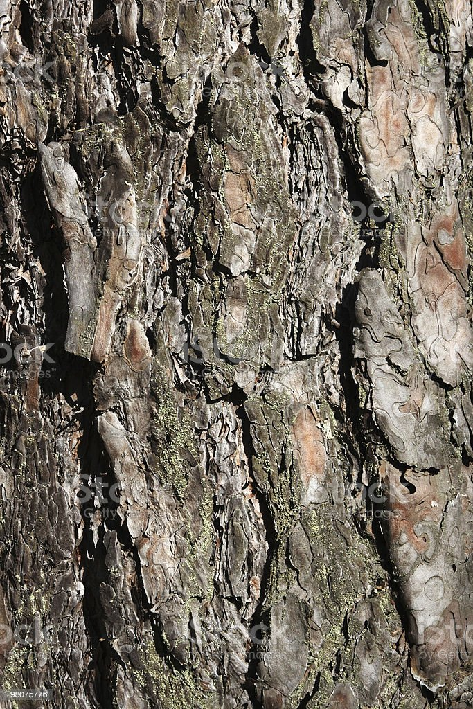 texture Pine bark of tree royalty-free stock photo