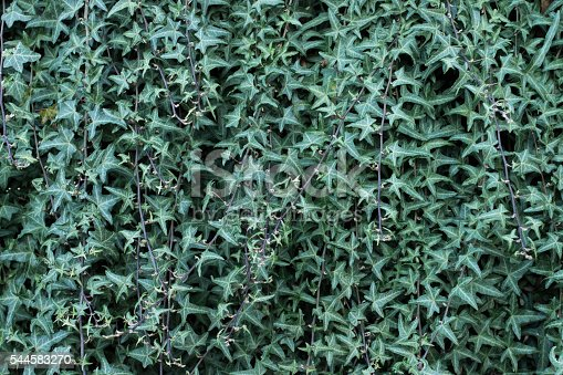 Texture Ripetibile Di Una Siepe O Parete In Edera Stockfoto Und Mehr