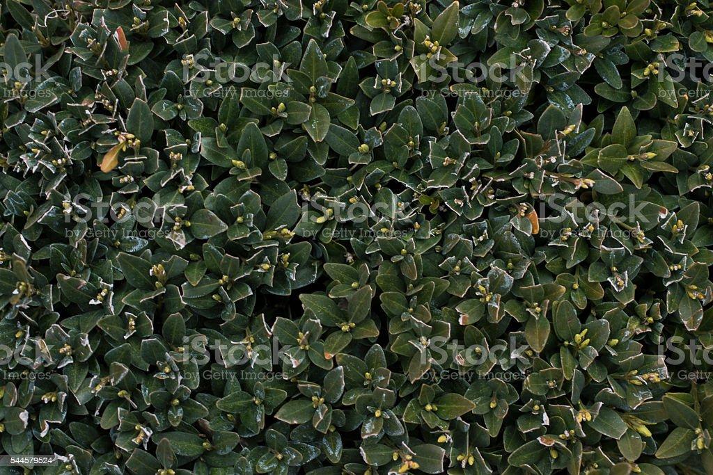 Texture Siepe O Cespuglio O Albero Ripetibile Stock Photo More