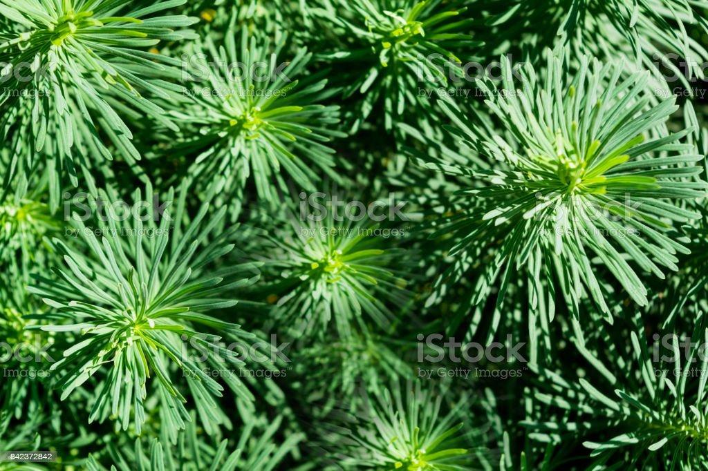 Texture the cypress spurge Euphorbia cyparissias stock photo