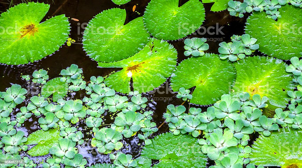 Texture with leaves of water lilies royalty-free stock photo