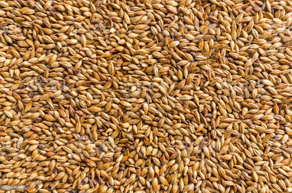 Texture with of barley malt for beer, pale ale, pilsen. stock photo