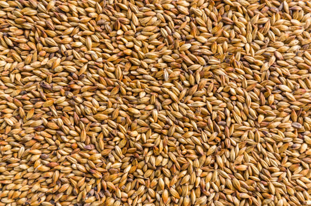texture with of barley malt for beer, pale ale, pilsen. - barley stock pictures, royalty-free photos & images