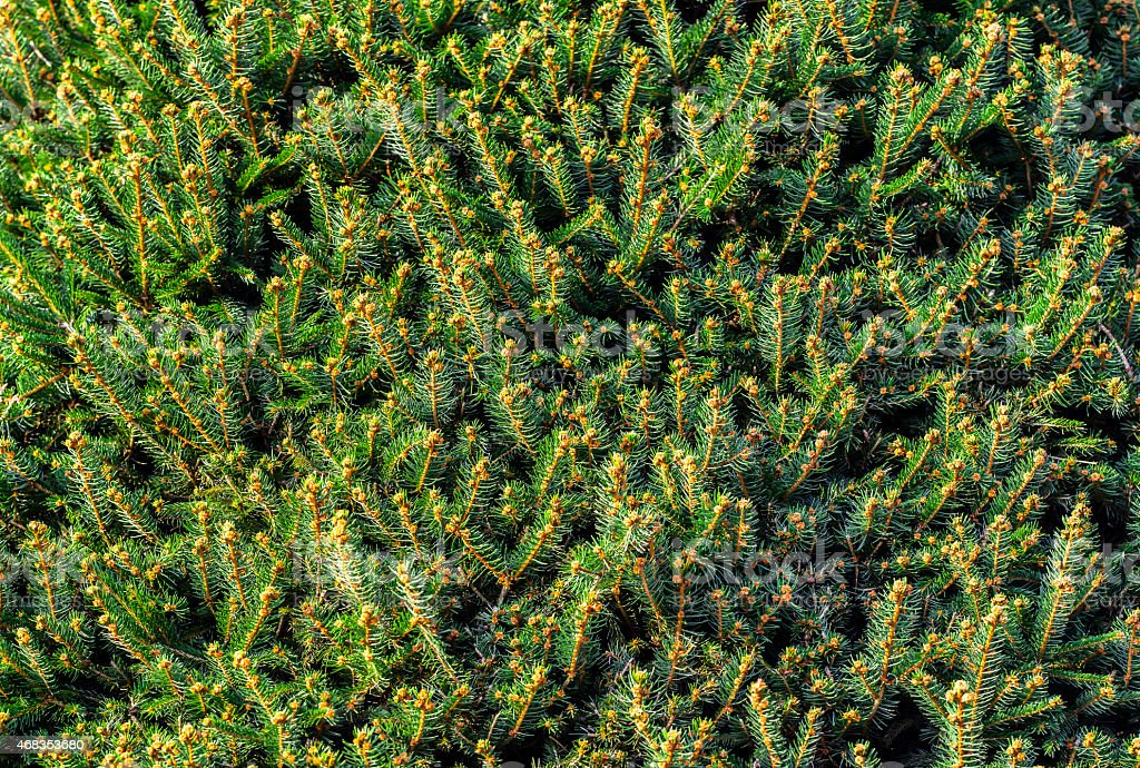 Texture with pine branches royalty-free stock photo