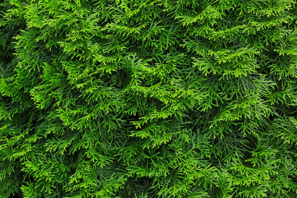 Textured background of Thuja leaves.Thuja is an evergreen coniferous tree, in the family Cupressaceae stock photo