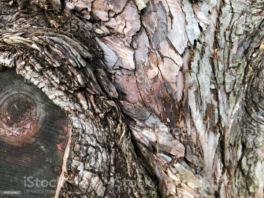 Textured Bark Of A Dawn Redwood Tree Stock Photo Download Image