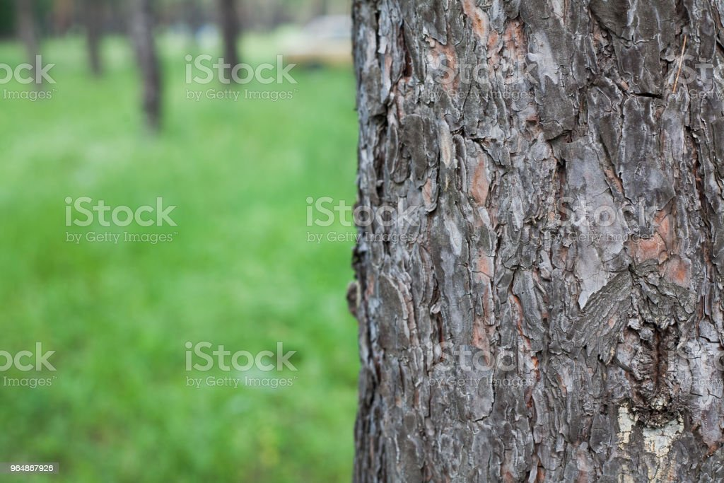 Textured bark of old tree on green blurred nature with trees background. royalty-free stock photo