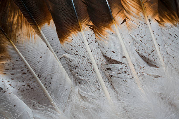 Textured Brown and White Feathers This is a close up shot of feathers that have an american indian/western  look.  It has nice brown and white colors with rich detailing and texture in the feathers. indigenous peoples of the americas stock pictures, royalty-free photos & images