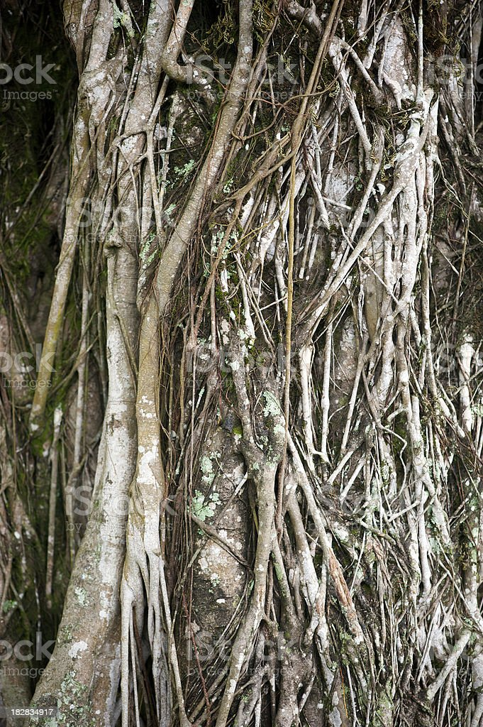 Textured Intertwined Vines on Big Tree Trunk royalty-free stock photo