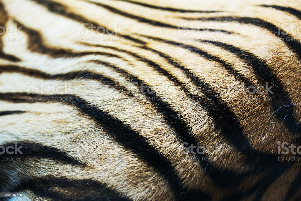 textured of real white bengal tiger fur stock photo