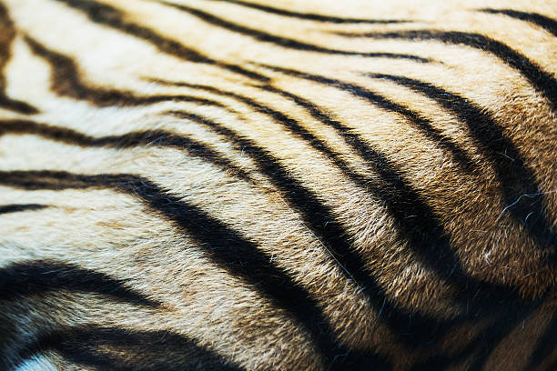 textured of real white bengal tiger fur - tiger fur stock photos and pictures