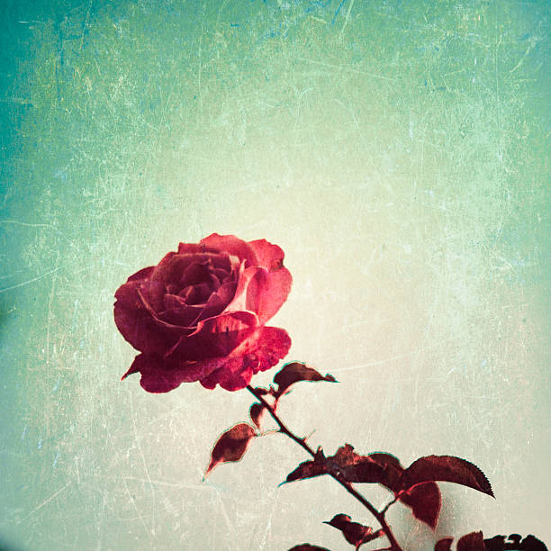 Textured Rose stock photo