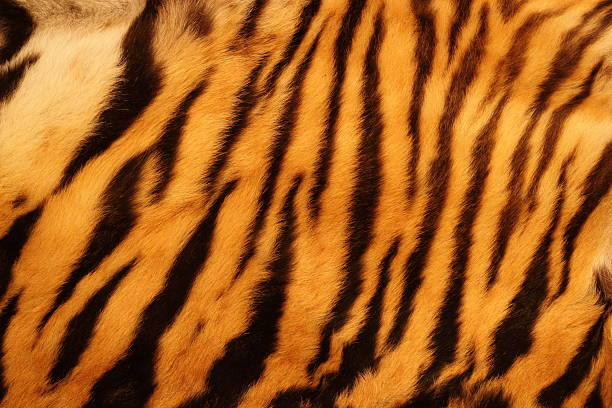 "textured tiger fur ""beautiful tiger fur - colorful texture with orange, beige, yellow and black"" animal hair stock pictures, royalty-free photos & images"