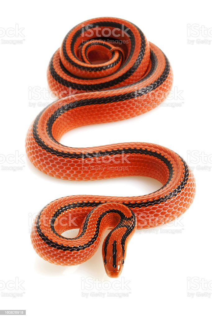 Thai Bamboo Ratsnake stock photo