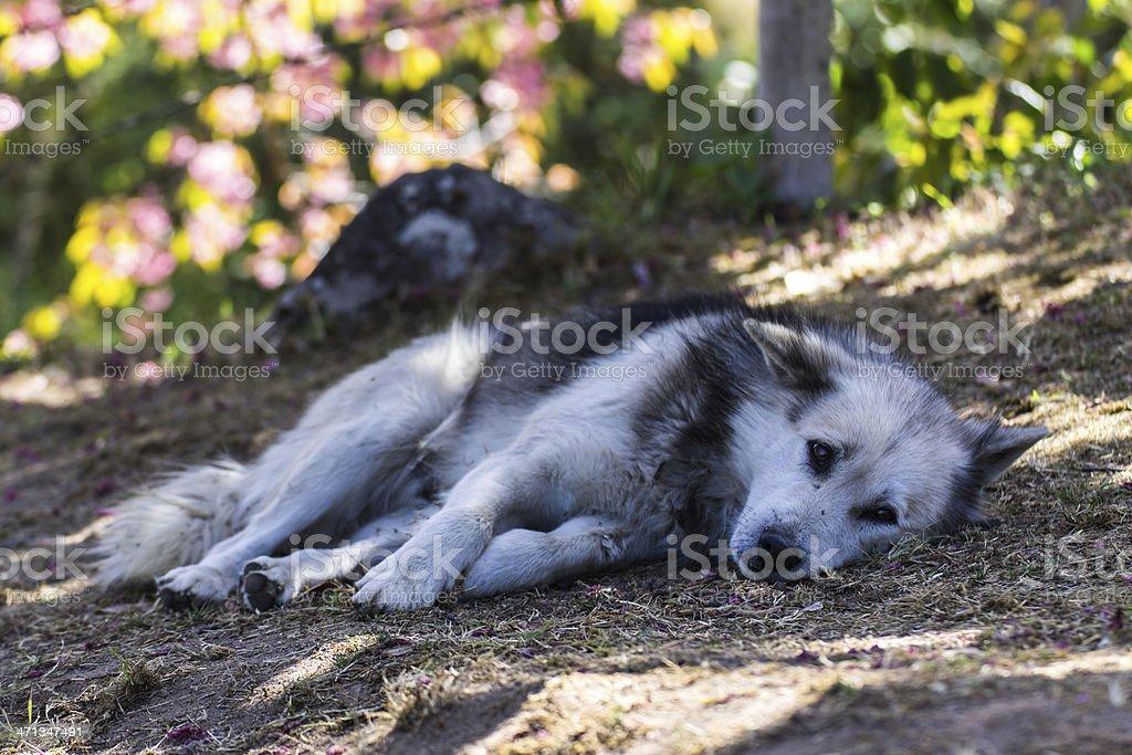 Thai Bangkaew Dog stock photo
