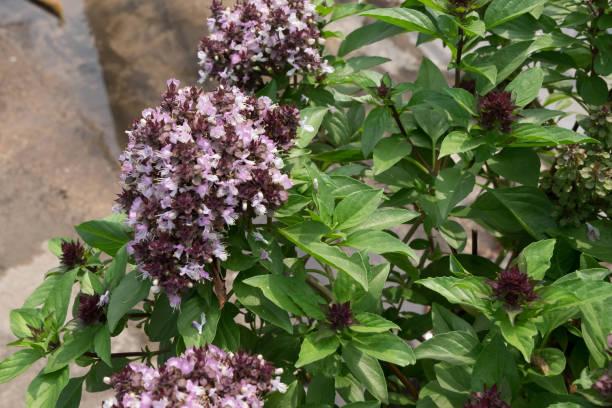 thai-basilikum und seine blumen, frische kräuter in asien. - ocimum tenuiflorum stock-fotos und bilder
