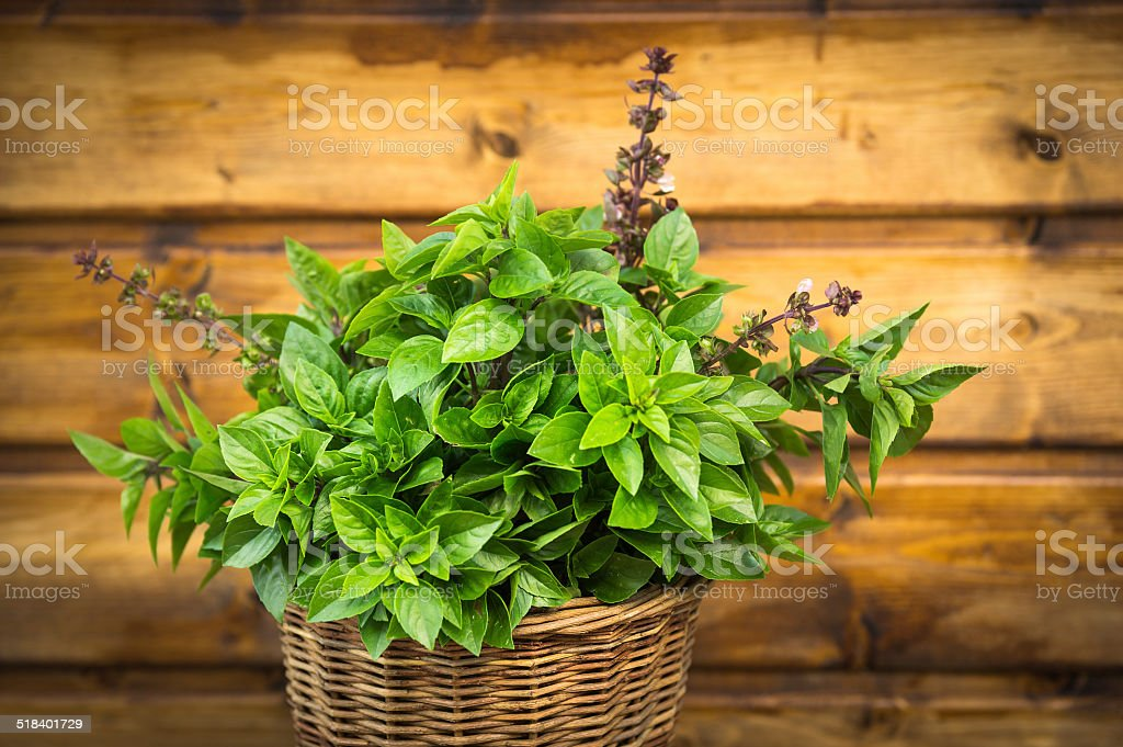 Thai Basil bunch in basket on old wooden background