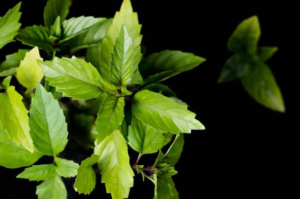 thai-basilikum - ocimum tenuiflorum stock-fotos und bilder
