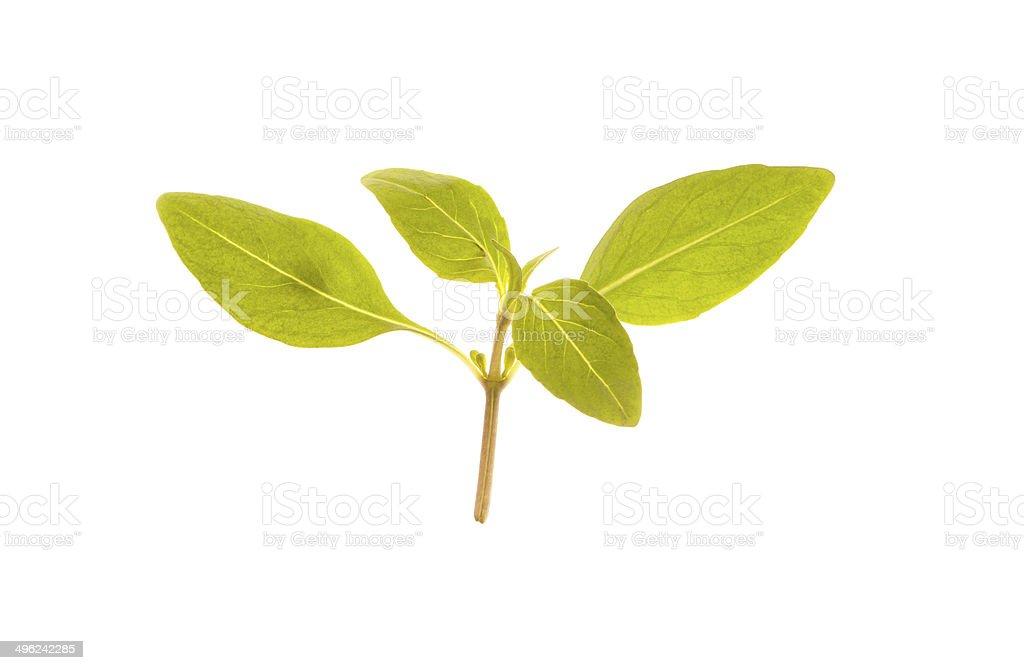Thai Basil microgreen on white background stock photo