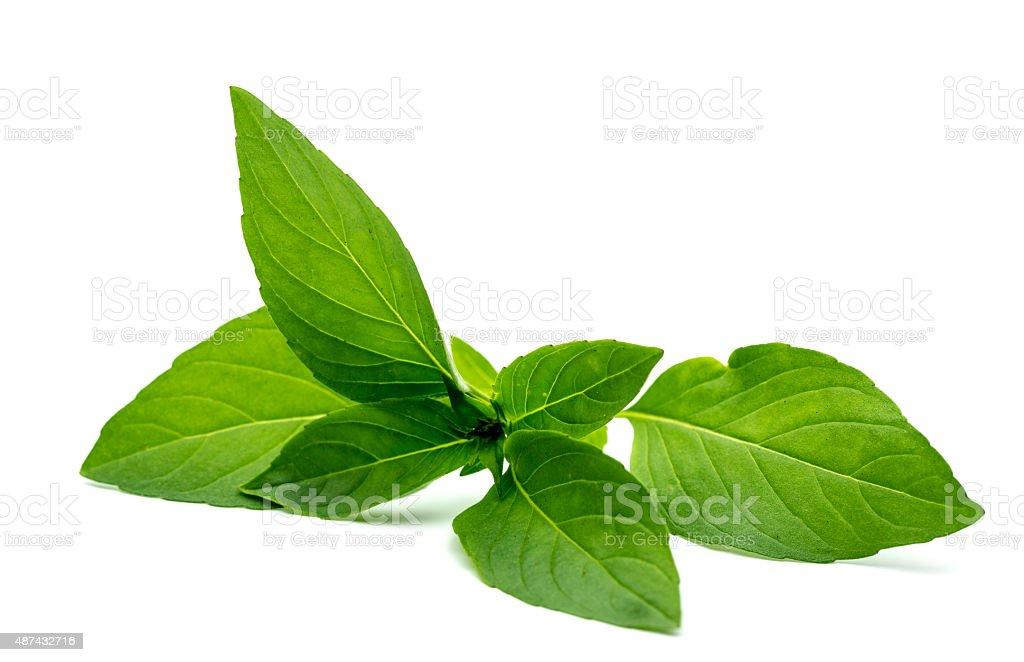 Thai basil on white background stock photo