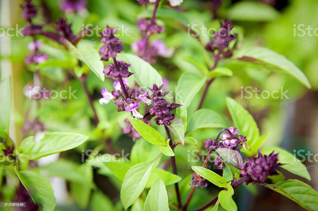 Thai Basil Plant Close-up, A Herb for Asian Cusine stock photo