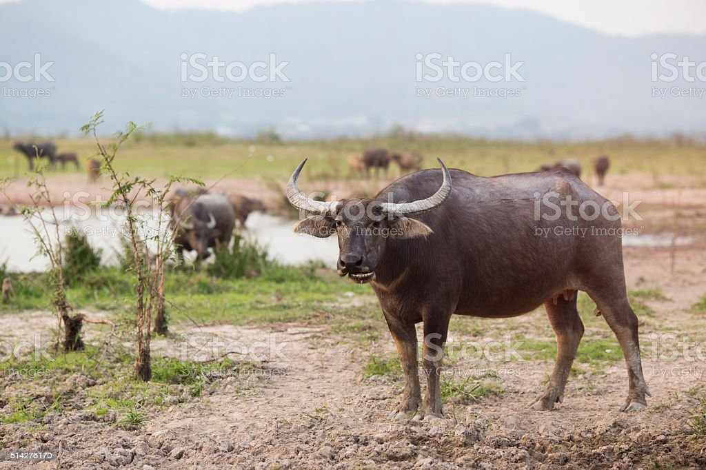 Thai Buffalo or carabao walk over the field stock photo