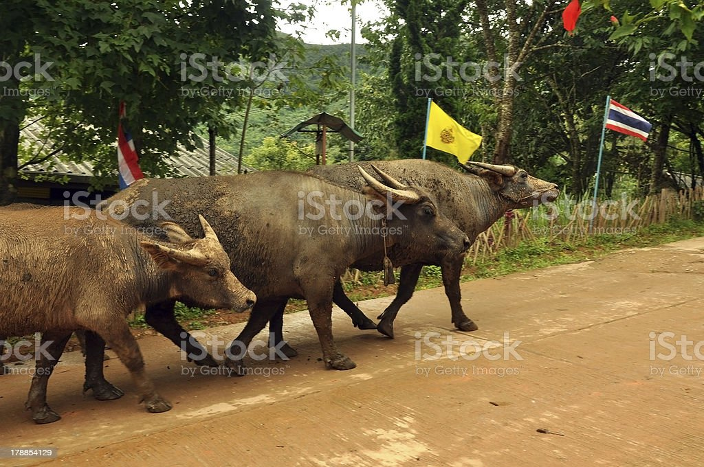Thai buffaloes in Muser village royalty-free stock photo