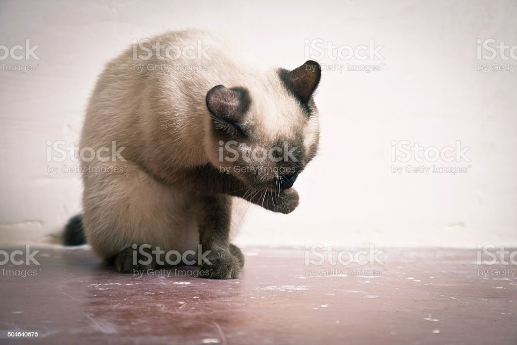 Thai Cat breed washes his muzzle stock photo