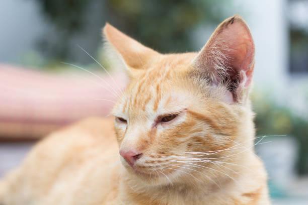 Thai cat or siam cat picture id888877756?b=1&k=6&m=888877756&s=612x612&w=0&h=dxrwq4s78qewb8mqmkslrv tdoxethtspw11vnqunb8=
