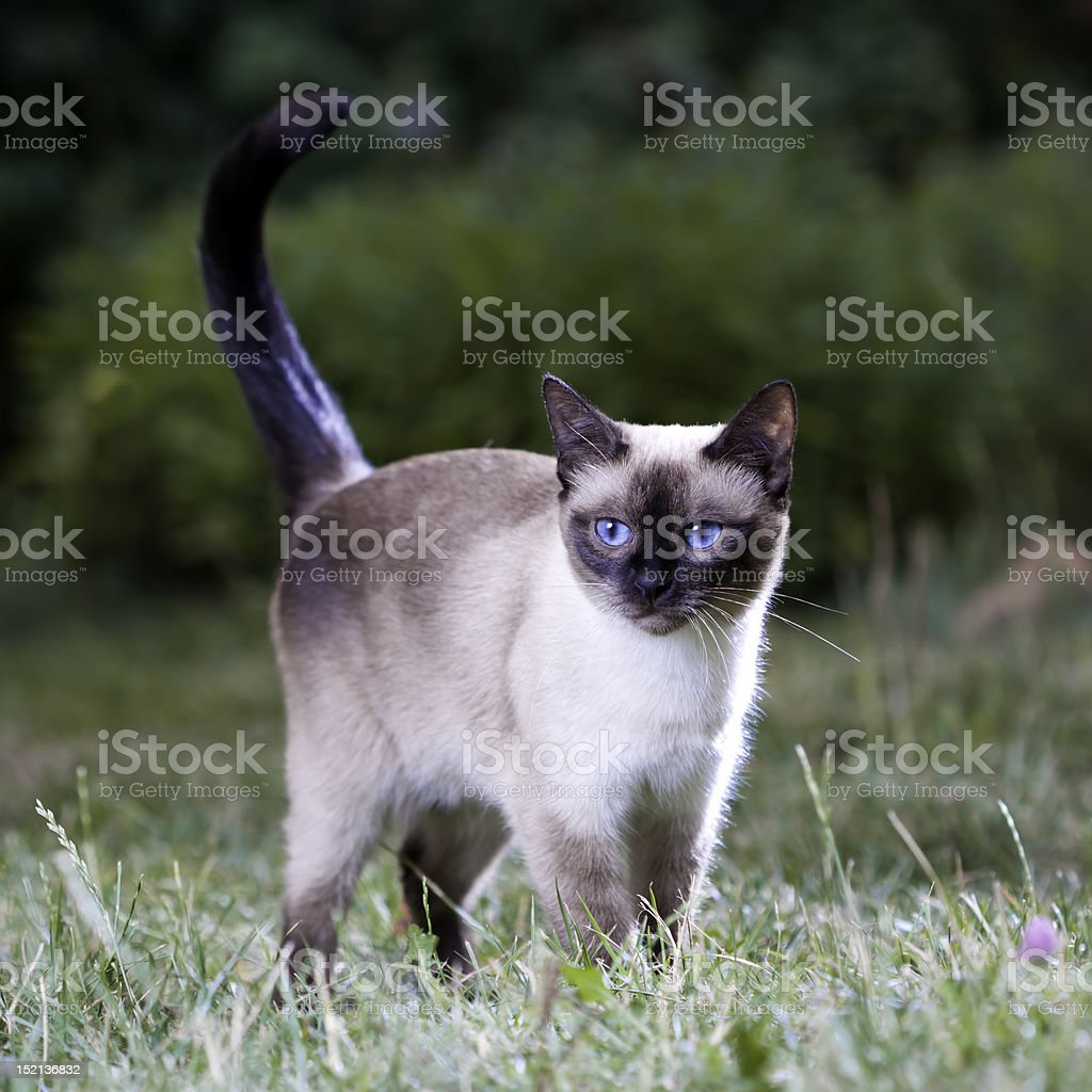 Thai Cat stock photo