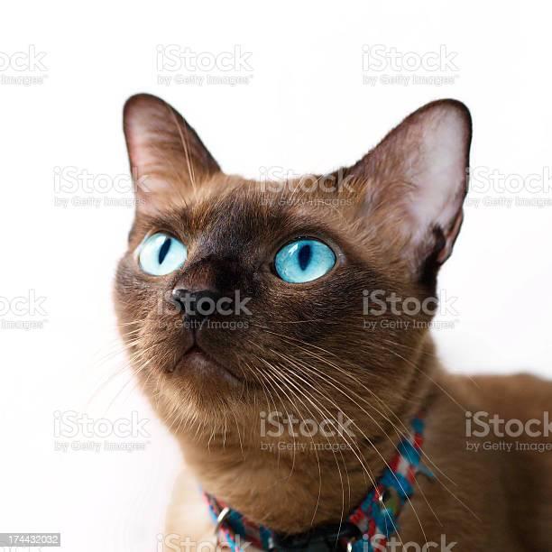 Thai cat picture id174432032?b=1&k=6&m=174432032&s=612x612&h=u9rxa2dqds0aj jmc9qwmzkggbaru8t2nd5y8umvxam=