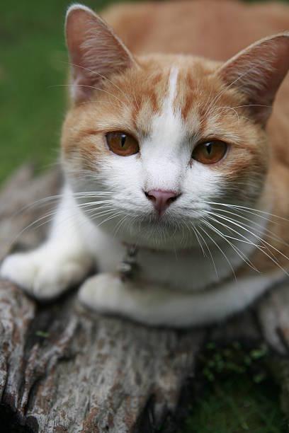 thai-cat - türkise haare stock-fotos und bilder