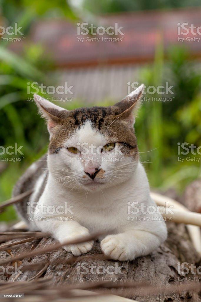 Thai cat sitting on log outdoor zbiór zdjęć royalty-free