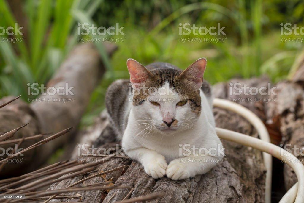 Thai cat sitting on log outdoor royalty-free stock photo