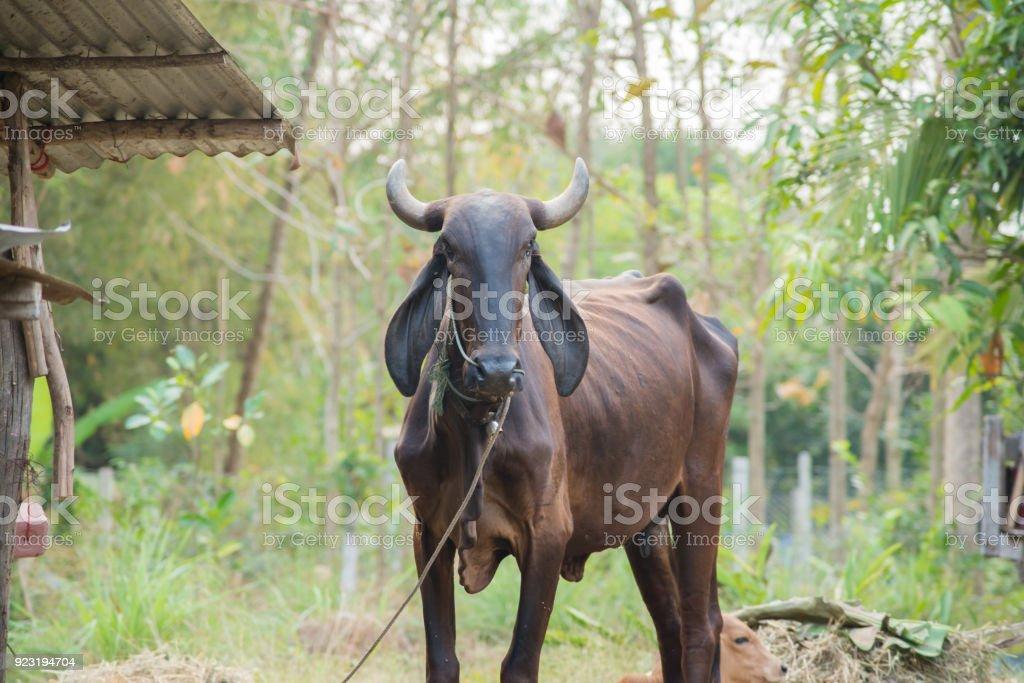 Thai Cow Farmer Feed Farm House Stock Photo - Download Image