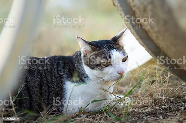 Thai cute cat picture id498096504?b=1&k=6&m=498096504&s=612x612&h=ho0zmqdrc rss19yg7xan 6g2q9eblf0auty7 jnlui=