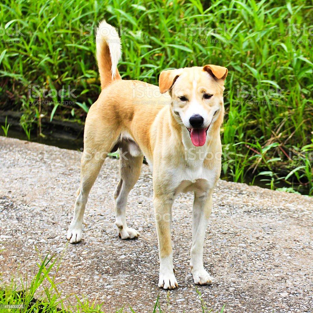Thai dog in the garden, Thailand. royalty-free stock photo