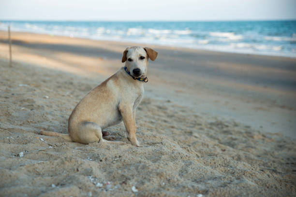 Thai dog sitting on beach picture id835932102?b=1&k=6&m=835932102&s=612x612&w=0&h=3f07mshdndtkfpxwmkqhl2dtjn 0xch8tf7ipmaldc8=